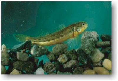 not-endangered-fish-colorado-cpw-7c599e43-7c3a-49fc-8127-475589801162