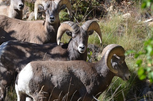 Big-Horn-Sheep-Rocky-Mountains-Colorado-CPW-ea30b3fe-343e-43cf-8396-719134798c2d