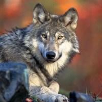 Increase in Wolf Sightings in Colorado