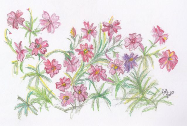 Pencil Drawing of Red Flowers, uploaded to facebook, August 2, 2010.