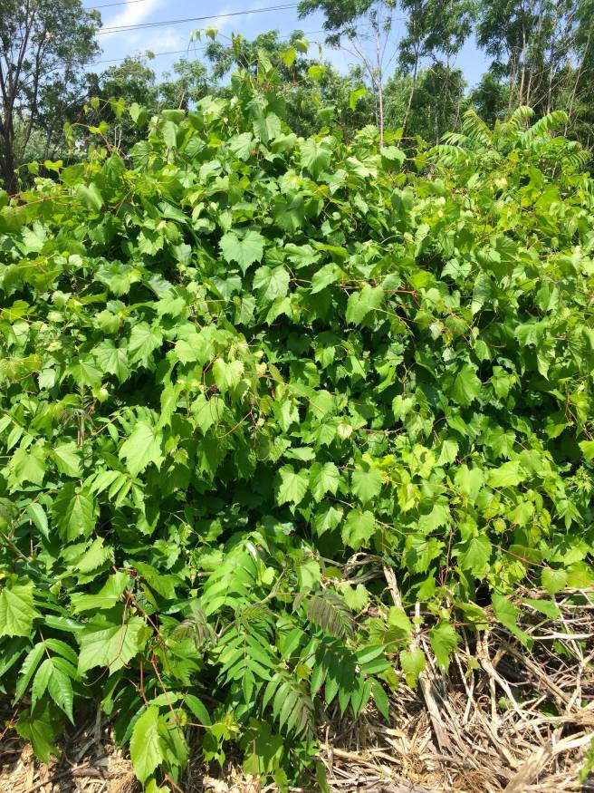 Vine leaves used for Dolmades