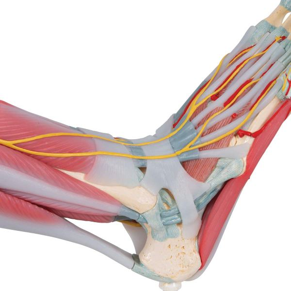 3B Scientific M341 Foot Skeleton Model with Ligaments and Muscles10