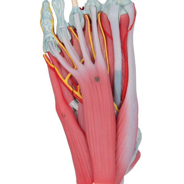 3B Scientific M341 Foot Skeleton Model with Ligaments and Muscles15