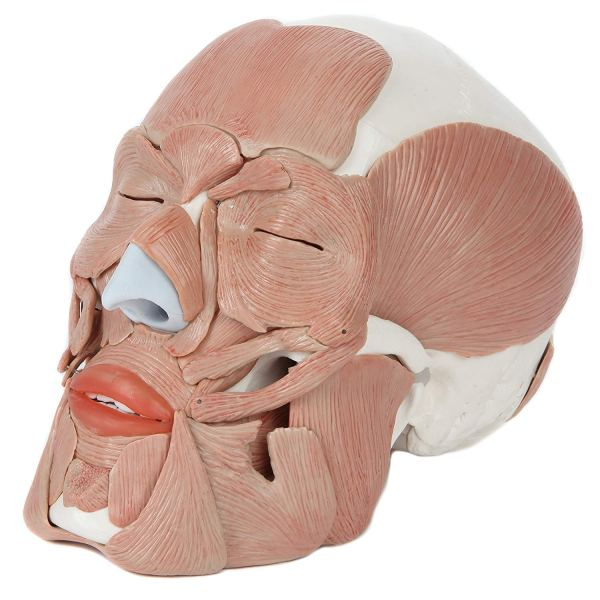 Axis Scientific 3-Part Human Skull Model with 40 3