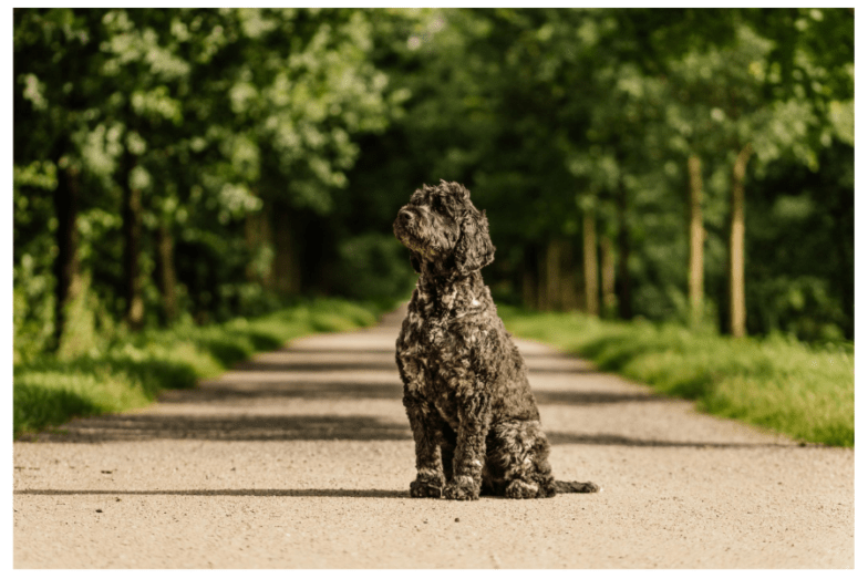 Are Portuguese Water Dog Happy Dogs