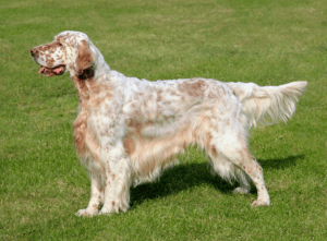 Read more about the article Best Hunting Dog Breed English Setters