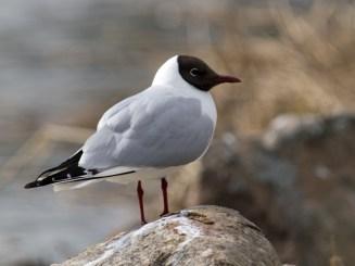 Joku lintu