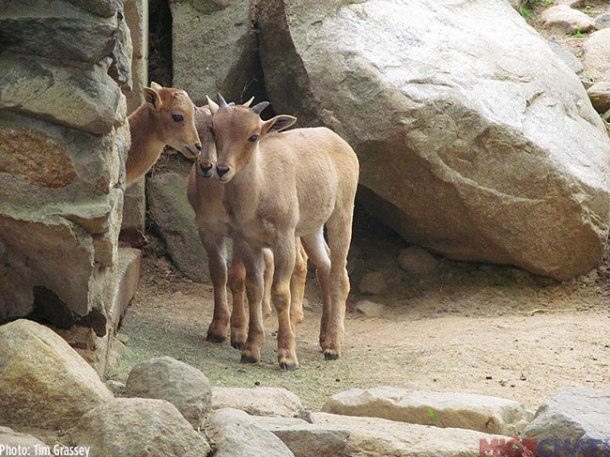 Baby Barbary Sheep