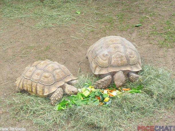 A zookeeper was feeding the Sucata Tortoises when we arrived