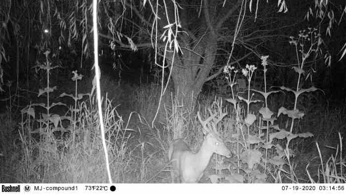 "A little buck wanders through our meadow at about 3:15 am, setting off the ""Meadowcam."""