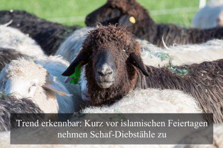 Schaf-Diebstaehle