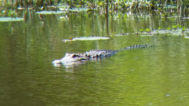 Alligator at Noxubee.