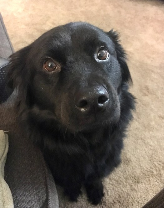 a black lab/chow mix