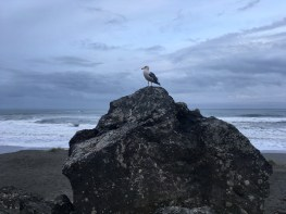 This gull had some gall. PCH
