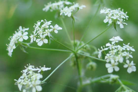image of a cow parsley flower