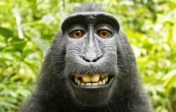 PETA Loses Copyright Case Over Monkey Selfie Taken By Naruto