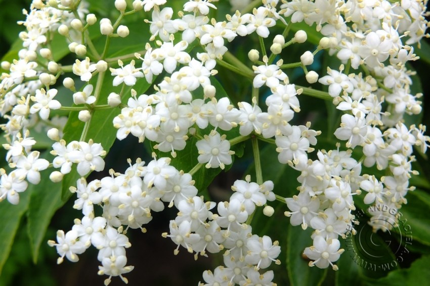 Sauco Flower
