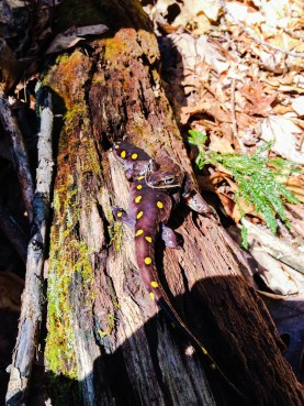 Love has no bounds - Spotted salamander & wood frog