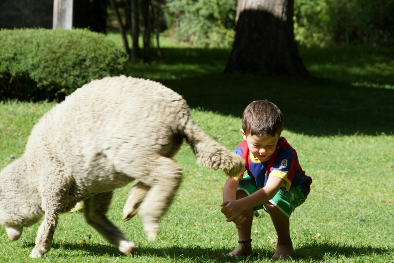 sheep and child