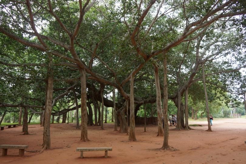 Great Banyan Tree at Auroville