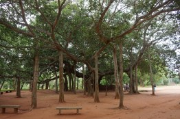 Great Banyan Tree at Auroville