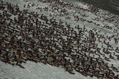 Thousands of Ducks