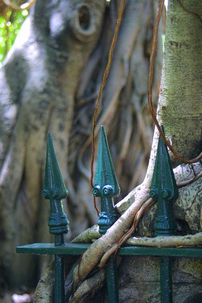 Banyan Fig by Brisbane Photographer Michael Forman