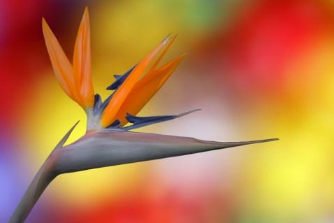 fs_fleur-coloree