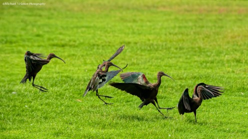 Glossy Ibis landing sequence