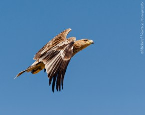 Imperial Eagle mid-flight