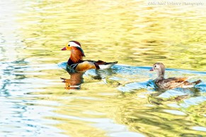 Mandarin with young