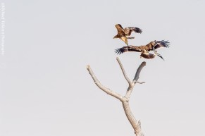 2 Imperial Eagles and a red-wattled lapwing
