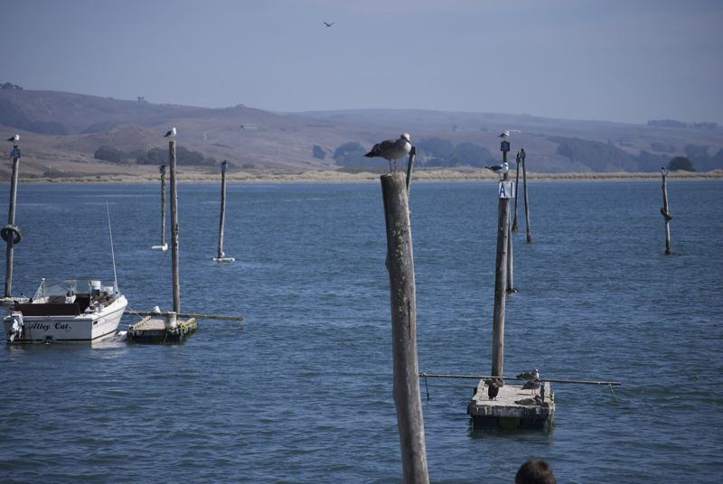 Shifty looking birds in Tomales Bay.