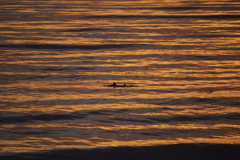 A few dolphins jumping in the sunset.