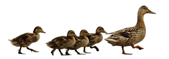 Ducks Following the Leader - Photo courtesy of ©iStockphoto.com/danwilton, Image #1921470