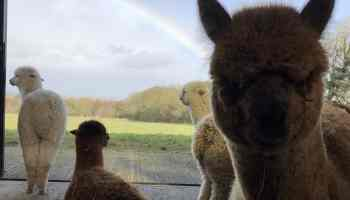 Angry Looking Cria with a Rainbow Behind