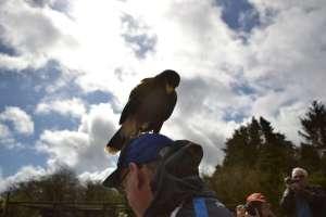 Eagles flying - Hawk being playful