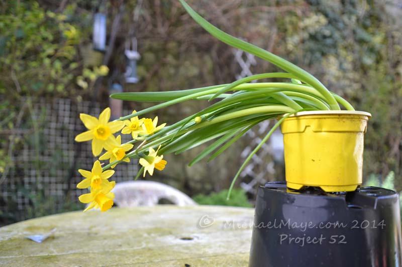 Dwarf Daffodils growing sideways. michaelmaye.com