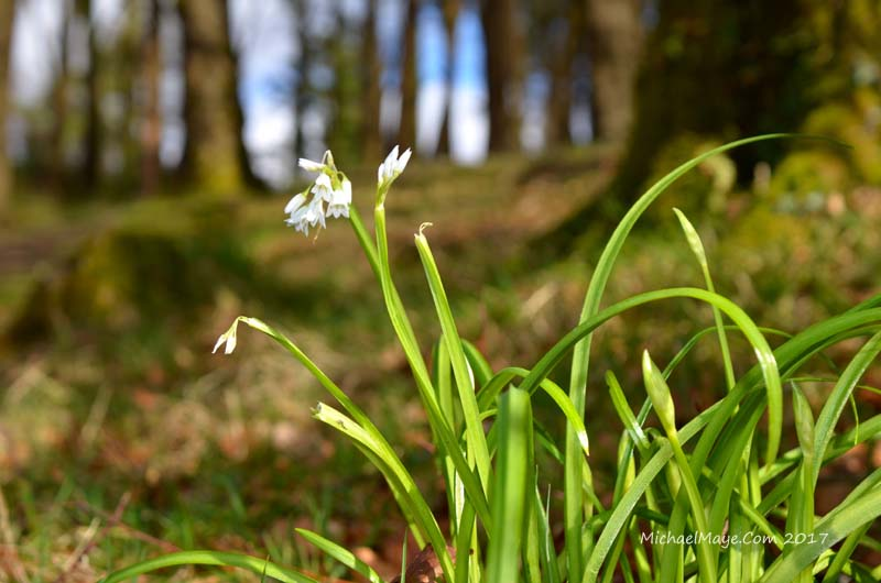 Ramsons growing in Brabazon woodlands, also known as wild garlic.