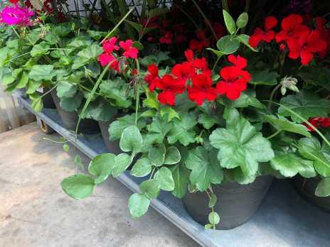 """13"""" Planter - Geranium Combination"""