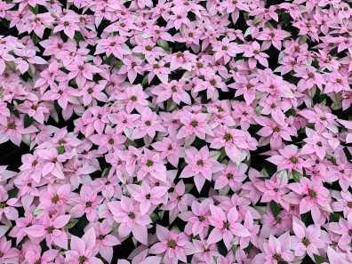 "6"" Princettia - Pink"