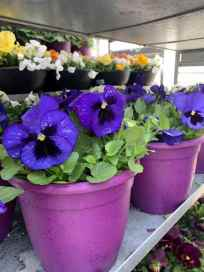 "8"" Pansy in Color Pot"