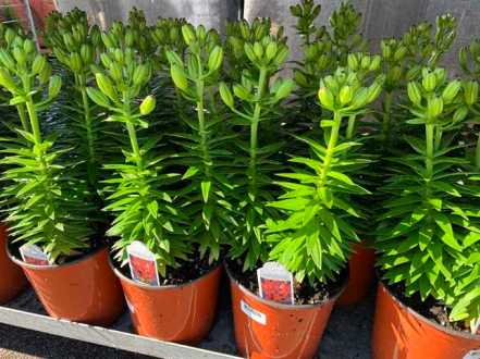 2 Gallon Perennial