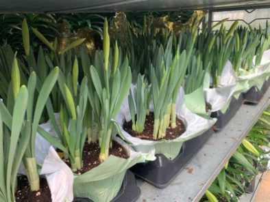 """6"""" Daffodil"""