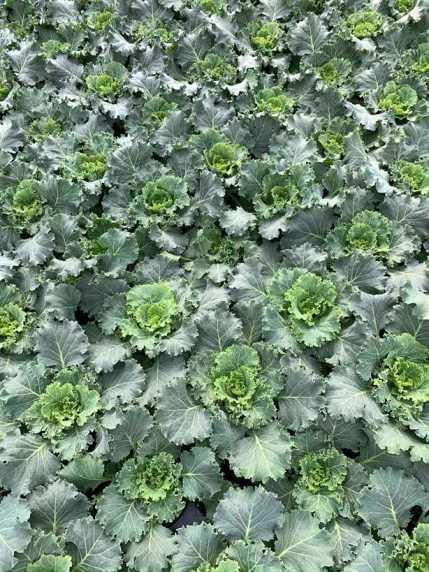 """4.5"""" Kale"""