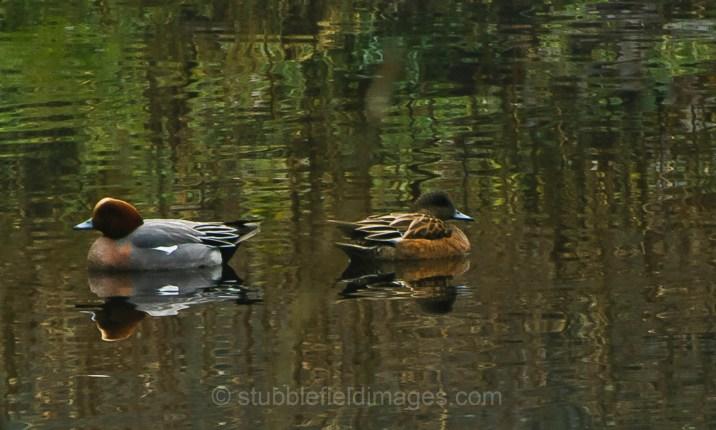 Eurasian Widgeon pair