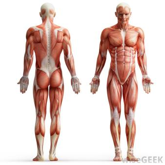human-muscle-anatomy