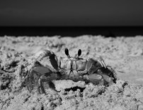 crab on the beach in Siesta Key
