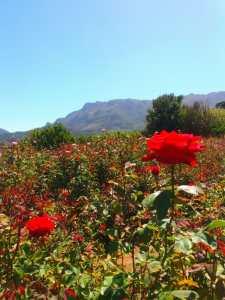 Stop and smell the roses at Charm Farm michalah francis3