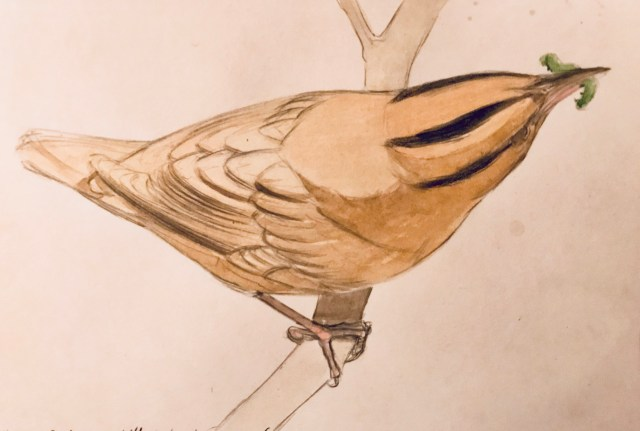 4. Another drawing made in the field, in this case of a worm-eating warbler